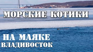 Дикие Морские котики на маяке во Владивостоке.
